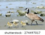 Female Mother Canadian Goose...