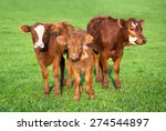 portrait of 3 nice brown calves ... | Shutterstock . vector #274544897