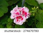 Geranium Flowers. Pink Bi Colo...