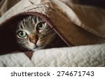 tabby cat hiding under a...   Shutterstock . vector #274671743