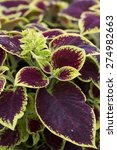 Small photo of Shrub - Coleus