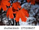 maple leaf red autumn sunset... | Shutterstock . vector #275108657
