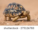 Leopard Tortoise Walking Slowl...