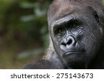 Male Adult Lowland Gorilla On ...