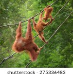 Orangutang Mokeys Family In...