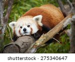 Red Panda Lying On Branch