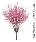 Entire Flowering Sacura Tree...