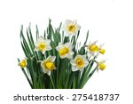 White Daffodil Narcissus...