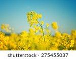 Oilseed Rapeseed Flowers In...