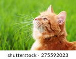 Stock photo cat in the green grass in summer beautiful red cat with yellow eyes 275592023