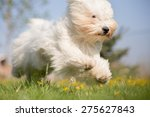 Coton De Tulear Dog In Action