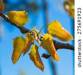 Small photo of alder tree, blossoming leaves against the blue sky. close