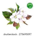 Apple Tree Flowers. Vector...