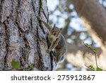 Grey Squirrel, Sciurus carolinensis, of North American origin, biting onto pine cone in the Western Cape South Africa.