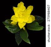 Large Yellow Gardenia Flowers...