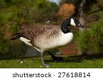 Canada Goose In Forest On A...