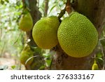 Breadfruit On Tree Green Fruit...
