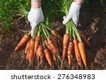 Harvesting Carrots. Female Han...
