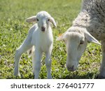 Newborn Lamb With His Mother I...
