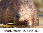 Shot Of A Wild Beaver Near Lak...