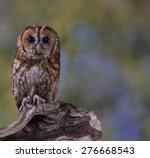 Portrait Of A Tawny Owl Stood...