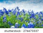 Blue Bonnet Flowers In A Field...