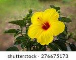 Hibiscus  Hibiscus Malvaceae