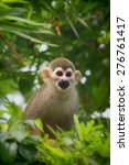 A Common Squirrel Monkey...