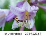 Hosta Flower Blooming In The...
