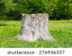 Stump From The Cut Tree In A...