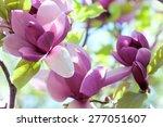 Spring Magnolia  Flowers ...
