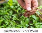 removing weeds from the... | Shutterstock . vector #277149983