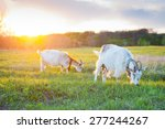 Goats Grazing At Sunset On A...
