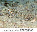 Small photo of Steinitz shrimpgoby and blind alpheus partner shrimp on sand