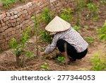 Small photo of Hanoi Vietnam April 28 2015 armers are adequately care for cherry purple flowers in the garden flowers.This work is part of the farmers of Vietnam.