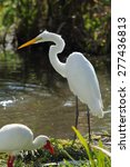 Great White Egret Standing Nea...