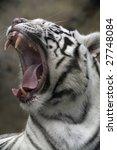 white tiger portrait close up | Shutterstock . vector #27748084