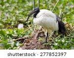 Ibis In The Grass Near Naivash...