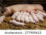 fertile sow lying on hay and...   Shutterstock . vector #277909613
