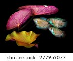 Small photo of Aquarium fish from Asia. Dwarf gourami. Trichogaster or Colisa
