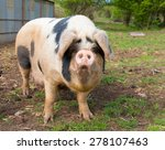 Pig With Black Spots