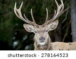 Deer Portrait On The Grass And...