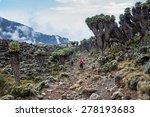 Dendrosenecio  Giant Groundsel...