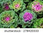 Purple Ornamental Cabbage...