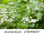 Blackberries White Flowers On ...