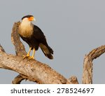 Perched Crested Caracara