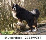 Bernese Mountain Dog Portrait...