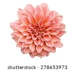 Zinnia Flower On Isolated White