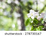 Flower On Blossoming Apple Tre...