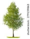 Green Spring Birch Tree...